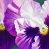 purple-pansies-spring
