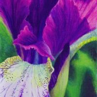 siberian-iris-close-up