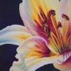 white-fuscia-lily