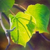 summer-aspen-leaves