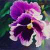 magenta-pansy-single-wp-web
