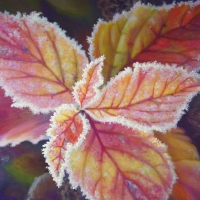 frosted-spirea-leaves