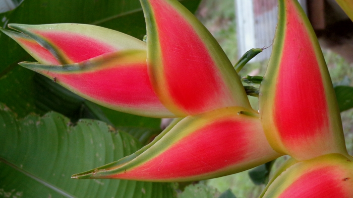 I was fascinated by the heliconia, a large, fleshy type of flower that grows wild everywhere. There are many different varieties!